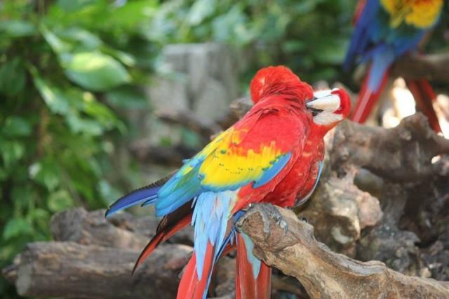 Macaws at Xcaret.